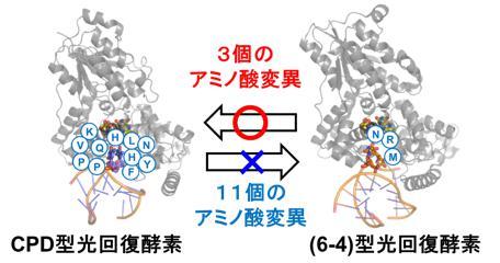 紫外線によって損傷したDNAを光で治すタンパク質の機能を人工的に転換することに成功